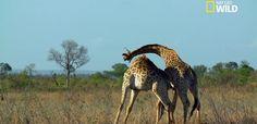 Point d'orgue de cette vidéo, le combat entre girafes mâles est étonnant !
