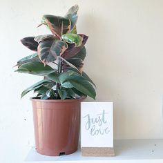 #kgostudio: This is one of my hand lettered cards from my last collections - and one of my favourites of all time because it is so versatile and can be used in so many situations  - sitting pretty next to my little baby rubber tree with its beautiful pink water colour like leaves . I am trying to grow my plant collection at the studio and have a couple of plant babies so far. I need hardy plants for when Im a little busy and may not be able to look after them and must like full sun if…