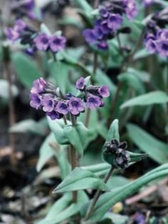 Lungwort is a spreading, groundcover plant with dark green leaves and deep blue flowers in spring.