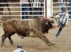 79 Mejores Imágenes De Toros De Reparo Bucking Bulls Bull Bull Y