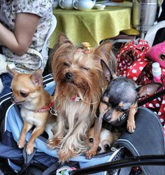 The pampered dogs of Sai Kung, Hong Kong.    Seriously, why not just get one big dog?