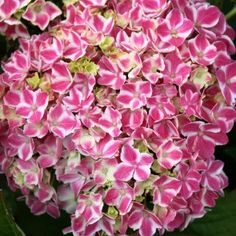 """Harlequin hydrangea This hydrangea is a must for all collectors or those that need just one. The 3""""-6"""" blooms are two colors of vibrant pink to purple with white borders - just like an angel's halo. We love this unusual and eye-catching specimen and we barely grow enough for the demand. The bloom is very tender and does not do well in any afternoon sun. Plant this in a container or as a focal point in any garden. Partial sun tolerance."""