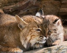 bobcats | Welcome to Florida: Bobcats