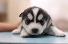Husky Puppy...wow, that is a spitting image of what Durango looked like as a pup.
