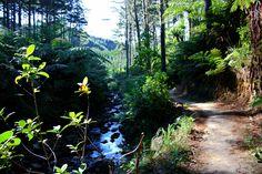 New Zealand Bush Walk - Coromandel Peninsula