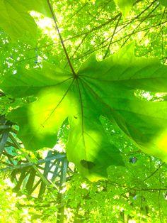 Maple leaf- by Tamara Slager