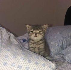Cute Baby Cats, Cute Little Animals, Cute Funny Animals, Kittens Cutest, Cats And Kittens, Funny Cats, Meme Chat, Cute Cat Wallpaper, Cat Aesthetic