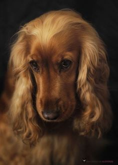 artistloveworld, peeblespair:   pawsforpets:   Cocker Spaniel