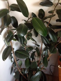 Rubber Plant (ficus elastica): Your plant appears to be a rubber plant.  Indoors it needs bright indirect light and should be watered when the soil feels dry down to your first knuckle.  Feed with a slow-release or organic fertilizer that is formulated for container plants. Do not allow plant to sit in water as this may lead to root rot.