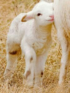 little lamb! super cute and adorable! Baby Sheep, Cute Sheep, Sheep Farm, Sheep And Lamb, Happy Animals, Cute Baby Animals, Farm Animals, Animals And Pets, Cute Goats