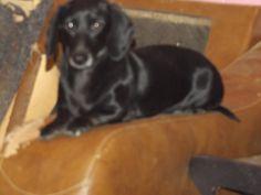 Dachshund dog for Adoption in Zaleski, OH. ADN-693234 on PuppyFinder.com Gender: Female. Age: Adult