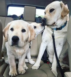 Yellow lab squad