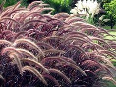 Capim-do-Texas (Pennisetum setaceum) Ficus, Pennisetum Setaceum, Calathea, Dream Garden, My Dream Home, Indoor Plants, Interior And Exterior, Landscape, Front Yards