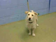 Still!!! Friends of Moreno Valley Shelter Animals ★OUT OF TIME★PER SHELTER, AT RISK FOR EUTHANASIA AT EOD FEBRUARY 17TH IF NO ADOPTION OR RESCUE COMMITMENT★★ ROSCOE - #A445354 (Moreno Valley Ca) Male, cream Terrier mix about 3 years old. https://www.facebook.com/135559229932205/photos/a.382565775231548.1073741961.135559229932205/428969840591141/?type=1&comment_id=432434000244725&notif_t=comment_mention