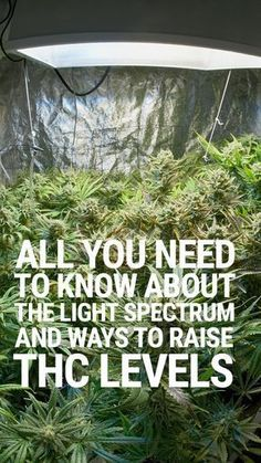 Creating an ideal environment for cannabis plants is only achievable by understanding the principles of nature - the light spectrum is a factor that cannot be ignored. Growing Weed, Cannabis Growing, Growing Plants, Marijuana Plants, Cannabis Plant, Cannabis Oil, Thc Oil, La Confidential, Gardens