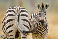interesting zebra facts