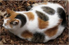 calico cat   Calico CAT