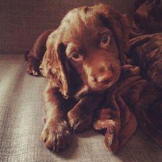 Sprocker puppy #truebeauty