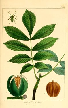 1 - The North American sylva; or, A description of the forest trees of the United States, Canada, and Nova Scotia ... 1840 / - Hickory with a bug
