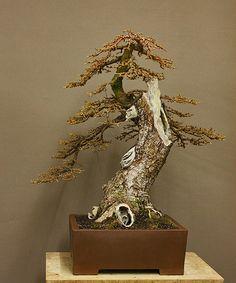 larix bonsai - Google Search