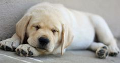 lazy two-month-old Labrador puppy