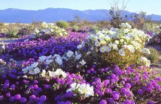 Wildflowers, Anza Borrego Desert State Park, Calif. (© Ambient Images Inc./Alamy)