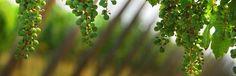VINIBUONI D'ITALIA 2015: i migliori vini da vitigni autoctoni  VINIBUONI D'ITALIA 2015: i migliori vini da vitigni autoctoni Si sono tenute le finali dei vini da vitigni autoctoni della guida vini buoni d'Italia. Ecco i migliori Vini Buoni d'Italia nel 2015