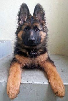 Lara the German Shepherd Dog | Puppies | Daily Puppy