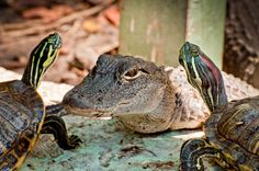 Alligator and Turtles no fence by Dretography.deviantart.com on @deviantART