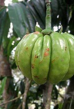 Garcinia Cambogia Extract ? A Natural Weight Loss Supplement (natural weight loss supplements)