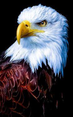 How Eagle hunt its prey? - How Eagle hunt its prey? Eagle Wallpaper, Tier Wallpaper, Animal Wallpaper, Wallpaper Pictures, Mobile Wallpaper, Bokeh Wallpaper, Pastel Wallpaper, Iphone Wallpaper, Galaxy Wallpaper