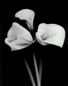 Calla Lily Search White Photography Lilies Black And Blossoms Research Irises