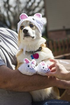 This corgi is ready for easter