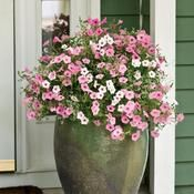 'Dainty and Delicate' will color your doorway all summer with pastel blooms that require nothing but a little plant food throughout the summer. http://emfl.us/9yLd
