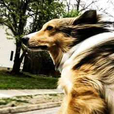 Nothing like the feeling of the wind in your fur and not a care in the world @kota_sheltielife   #MyPawPals #PetsofInstagram #Dogsofinstagram #dogsofig #dogslife #dogsofinsta #dogs_of_instagram #doglover #dogoftheday #animaladicts #petoftheday #petsagram #pets_of_instagram #doglife #petlover #petsofinsta #dogpals #doggos  #petsofig #pets #petcommunity #petbloggers #petblog #blogging #blogger #petcommunity #shelties #sheltiesofinstagram #sheltiesofig #sheltiesofig_