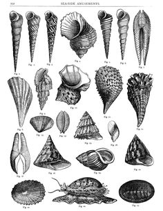 This page, titled SEA-SIDE AMUSEMENTS, is filled with a wonderful variety of seashells. I scanned the originalfromCassell's Household Guide Volume II, circa 1869. Click on image to enlarge. The f…