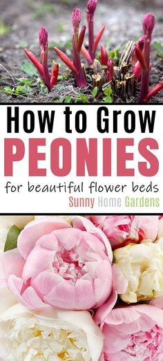 How to Grow Peonies for Beautiful Flower Beds Awesome tips, tricks, advice to grow beautiful peonies in your yard. Groiwng peonies doesn't have to be hard if you have the right growing conditions and the flowers smell wonderful and are beautiful. Peony Flower, Flower Beds, Flower Bed Decor, Peony Plant, Diy Flower, Peonies Wallpaper, Dream Garden, Home And Garden, Growing Peonies