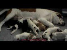 Alabai Central Asian Shepherd Puppies 7 Days Old
