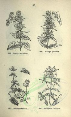 - black-and-white sylvatica, stachys palustris, stachys arvensis, galeopsis ladanum - high resolution image from old book. Botany Books, Plant Illustration, Beautiful Pictures, Bloom, Herbs, Black And White, Painting, Image