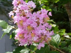 Myrtle: not actually the prettiest flower, but the tree sacred to Venus in Renaissance love poetry...