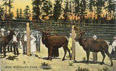 Elk at Woodland Park Zoo, 1911 Seattle Washington, Washington State, Female Gorilla, Woodland Park Zoo, Reptile House, Pony Rides, Pet Cage, Elk, Vintage Photos