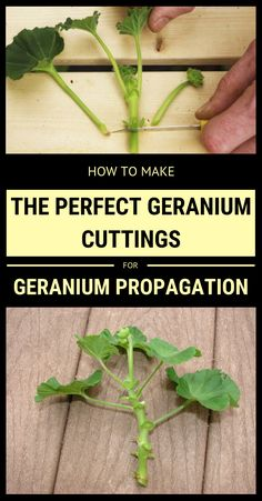 garden care tips How To Make The Perfect Geranium Cuttings For Geranium Propagation Growing Plants, Garden Plants, Propagating Plants, Geranium Planters, Plants, Citronella Plant, Geraniums, Gardening Blog, Geranium Plant