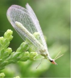 GOOD BUG: The Lacewig. Lacewigs eat aphids, moth eggs, scales, small caterpillars, and mites.