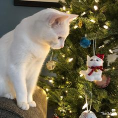 I found a white cat on the Christmas tree! / Mama: Leave it alone, Sophie. / Sophie: Hey you, yeah you. There can only be one white cat in this house. / Sophie: Don't worry, Mama. I'll take care of it. Christmas Kitten, Christmas Animals, Christmas Fun, Christmas Ornament, Cats In Christmas Trees, Holiday, Grumpy Cats, Funny Cats, Kittens Cutest