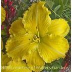 Daylily DOC REAVER (25) plants