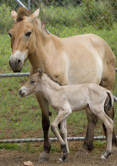 Przewalski's horses are critically endangered