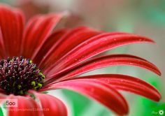 Red by Tracy99. Please Like http://fb.me/go4photos and Follow @go4fotos Thank You. :-)