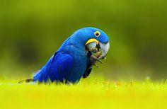 Hyacinth Macaw (Anodorhynchus hyacinthinus) / Гиацинтовый ара