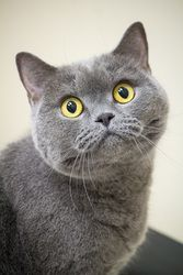 Alfred is an adopted British Shorthair Cat in Chicago, IL. Not your average mopped-haired lad from Liverpool. This handsome boy instead has divinely short hair that is literally softer than velvet. He...