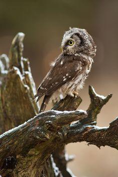 Tengmalm´s Owl -